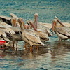 A roseate spoonbill among pelicans