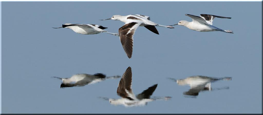 _DS33649 Avocets in flight