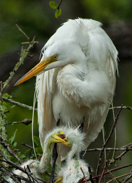 A great egret family