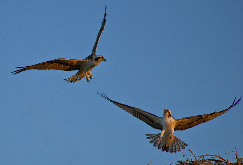 Ospreys fighting over territory