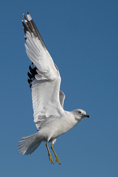 Floating Gull - Seagull hovering in air - Port Dalhousie, St. Catharines