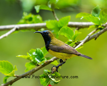 Olive-backed Sunbird