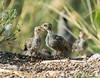 Gambel's Quail Chicks