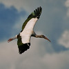 An woodstork in flight