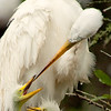 A great egret and hungry chicks