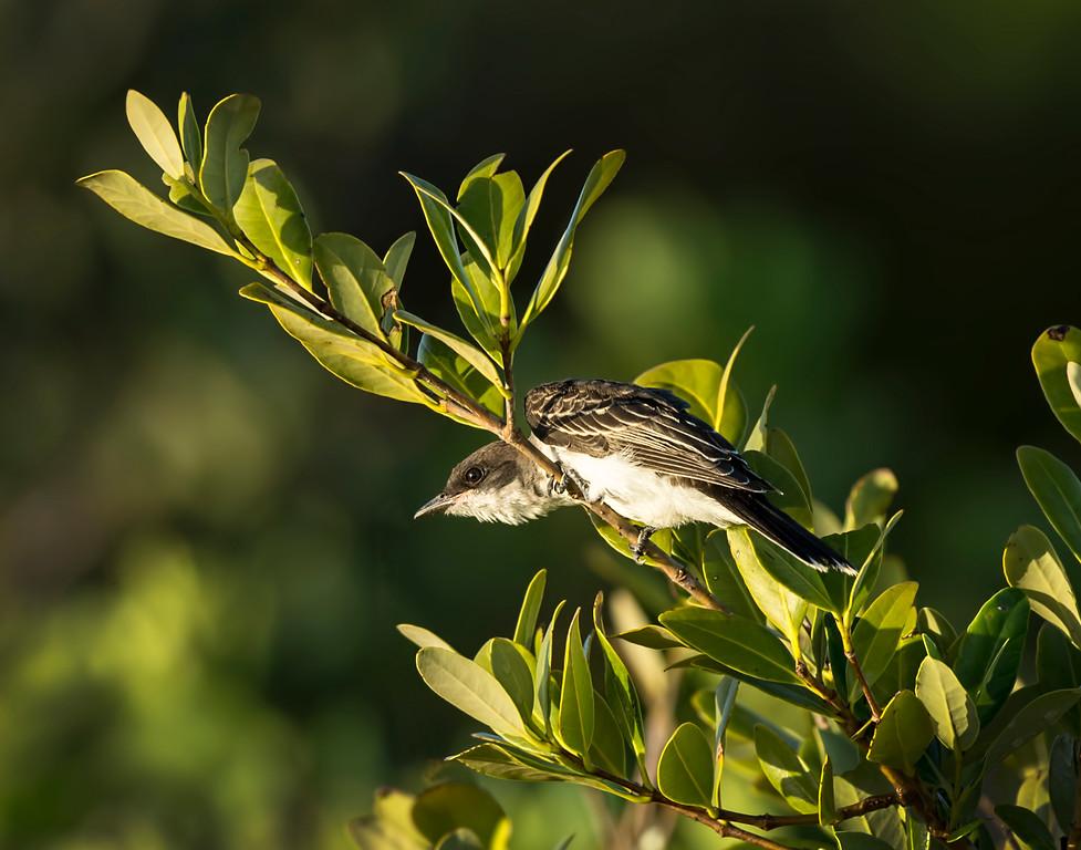 _DLS5097 Eastern Kingbird