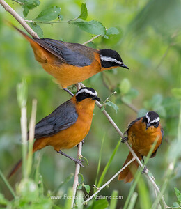 White-browed Robin Chats
