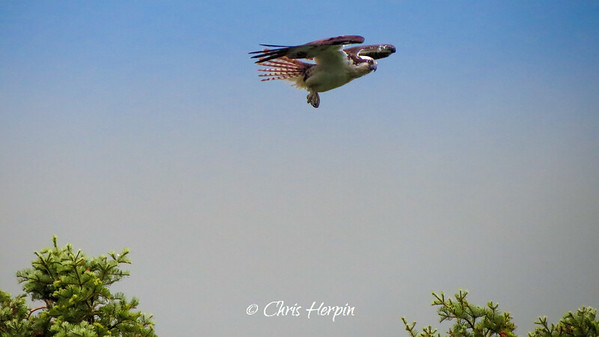 Osprey hovering in high winds