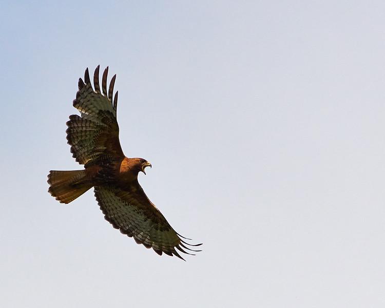 Red-Tailed Hawk Screeching Overhead