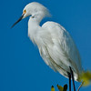 Snowy egret displaying mating feathers