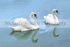 Swans - 4 x 6