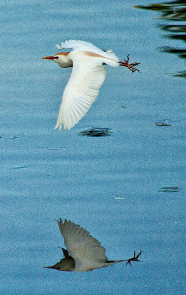 Flying cattle egret