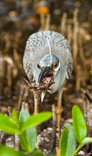 Yellow crested night heron with a crab
