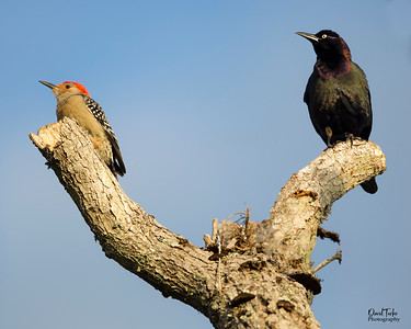 Red bellied woodpecker & Brewer's Blackbird