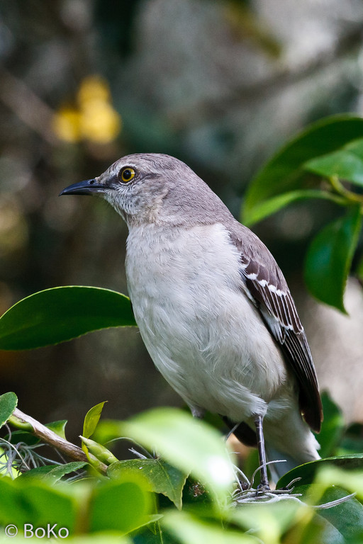 Birds - Backyard Flyers