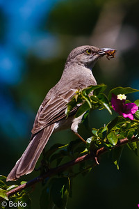 Florida Mockingbird