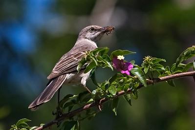 Florida Mockingbird