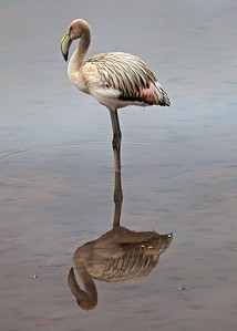 A juvenile Flamingo on Isla Floreana in the Galapagos Islands