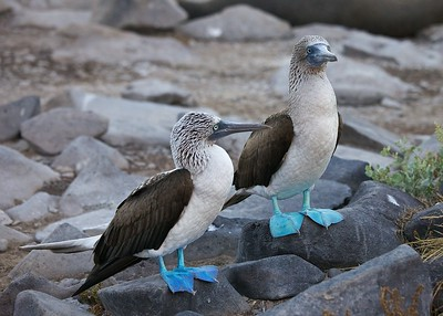 A Mating Pair of  Blue-Footed Boobies on Punta Suarez, the Galapagos