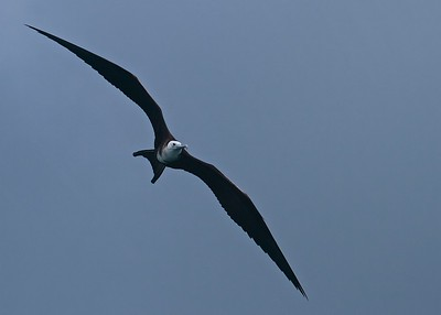 A Juvenile Magnificent Frigate Bird overhead the boat in the Galapagos Islands