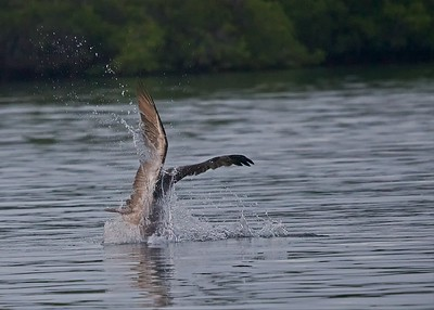 A Brown Pelican dives in after a fish as it hunts at sunset in the Galapagos Islands