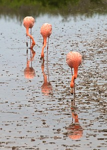 A group of Flamingos on Isla Floreana in the Galapagos Islands