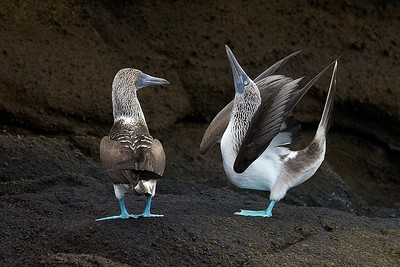 A Male Blue Footed Booby does his mating dance in the Galapagos Islands