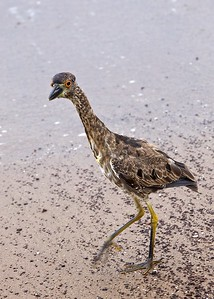 Juvenile Yellow-Crowned Night Heron on Punta Moreno Island in the Galapagos