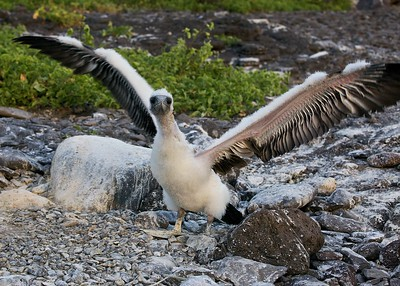 A Nazca Booby Chick Stretches Its New Wings  on Puerto Suarez in  the Galapagos Islands