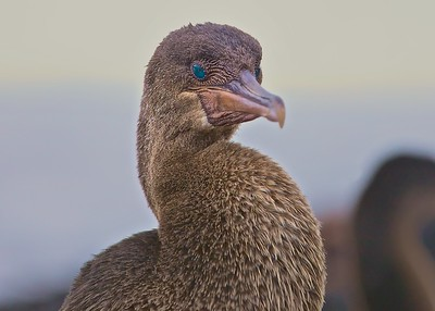 """Flightless Cormorants dry their wings on shore on Fernandina Island n the Galapagos.  These """"birds"""" swim on the surface and dive using their wings as they fish.  Note the beautiful turquoise eyes."""