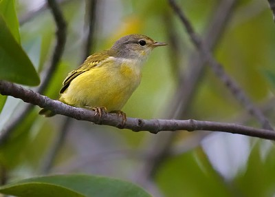A Golden Tree Finch in a mangrove swamp in the Galapagos Islands