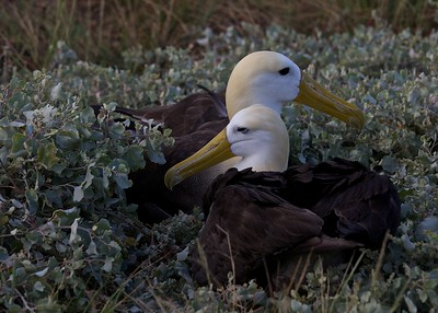 A Giant Albatross pair at rest on Punta Suarez in the Galapagos Islands.  They mate for life and only bear young on this island.
