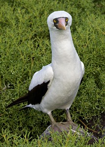 A Nazca Booby  poses on Puerto Suarez in the Galapagos Islands