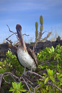 A Brown Pelican rests in the mangrove--and among the cactus--in the Galapagos Islands.