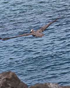 A Brown Pelican flies by off of Puerto Suarez Island in the Galapagos Islands