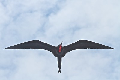 The male Frigate Bird lives in the Galapagos Islands and blows up this large red sack to attract females.