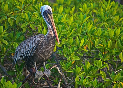 A Brown Pelican rests and dries its feathers at sunrise in the mangrove on Santa Cruz Island in the Galapagos Islands