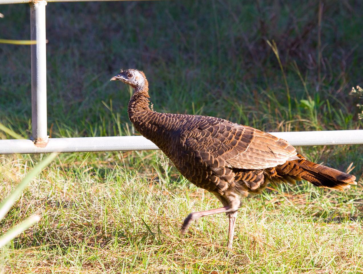 osceola wild turkey