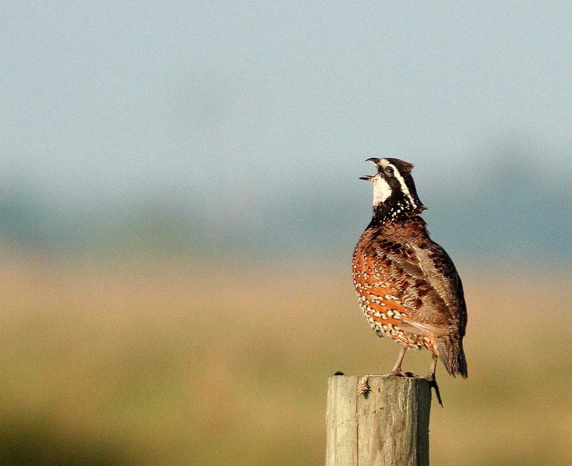bob white quail