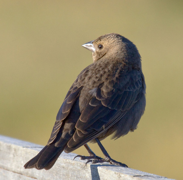brown headed cowbird female