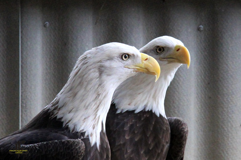Bald Eagles Up Close