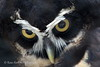 Spectacled Owl Close-Up