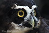 Spectacled Owl - Side Face View