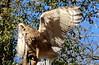 Savigny's Eagle Owl - Bubo ascalaphus