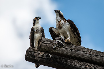 Juvenile and adult Osprey