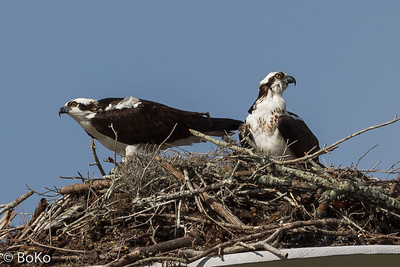 May I introduce: Mr. And Mrs. Osprey.