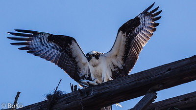 Osprey at Cranes Roost