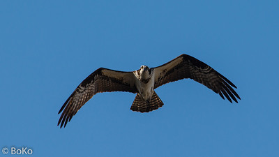 Osprey at Lake Monroe