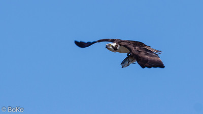 Osprey - Flying Fish