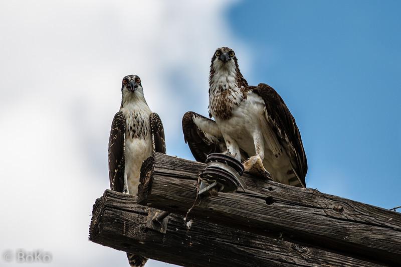 Juvenile and adult Osprey